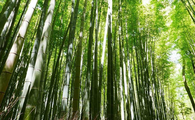 Bamboo Not a Tree Anymore As President Clears Ordinance